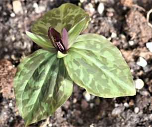 trillium freemaniielbert co , ga