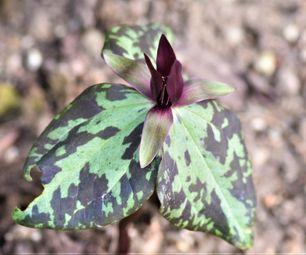 trillium sp nova elbert country